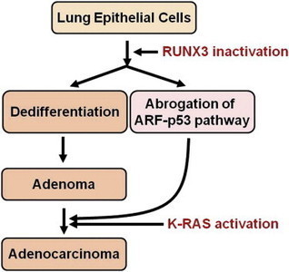Runx3 Inactivation Is a Crucial Early Event in the Development of Lung Adenocarcinoma | Scientific Information & News | Scoop.it