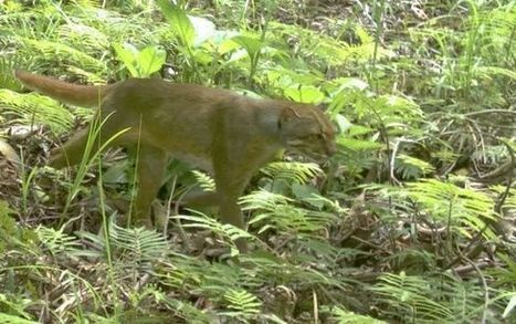 Spotted: Ultra-rare cat species captured on camera in Borneo - Fox News | Animal Abuse | Scoop.it