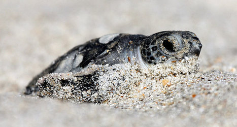For baby sea turtles, it helps to have a lot of siblings | Biologie in de klas | Scoop.it