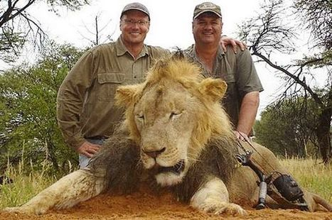 Assessing the sustainability of African lion trophy hunting, with recommendations for policy - Conservation Action Trust | Wildlife News | Scoop.it