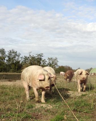 Les débouchés du porc bio: parlons business! -le 14 juillet à Chimay | Agenda HAINAUT DEVELOPPEMENT | Scoop.it