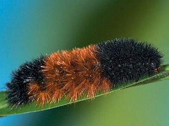 A closer look at woolly bear caterpillars: Organic Gardening   100 Acre Wood   Scoop.it