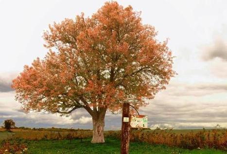 Le cormier de Ranton est un arbre vénérable - 25/10/2015, Ranton (86) - La Nouvelle République | Histoire, Patrimoine, Nature en Loudunais | Scoop.it