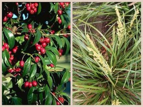 Our Indigenous Garden: WebQuest on Use of Native Plants - Youth Engagement via ICT   australian bush foods   Scoop.it