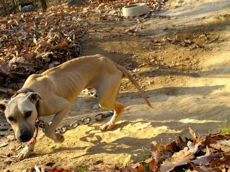 Thanksgiving rescue brings hope for dogs at dog fighting site ...   celebrity pets   Scoop.it