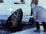New Northwest Passage triggers mass species migration   Inuit Nunangat Stories   Scoop.it