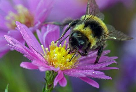 Bees bring more to the British economy than the Royal Family | Chronique d'un pays où il ne se passe rien... ou presque ! | Scoop.it