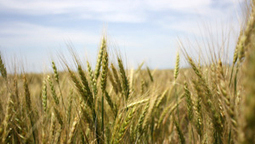 News: Mutant wheat fungus alarms food experts (2014) | Plant Pathogens | Scoop.it