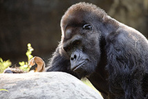 "Zoo Atlanta mourns Ivan the western lowland gorilla | ""The One and Only Ivan"" by Katherine Applegate 