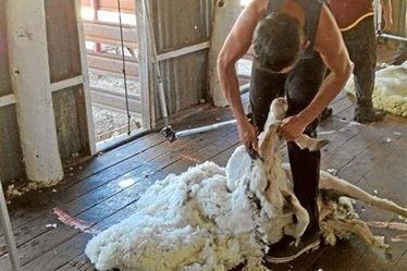 Securing future shearers - The Land Newspaper   Sheep and Wool   Scoop.it