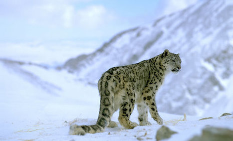 Snow Leopards May Soon Vanish, Thanks In Part To Climate Change | VISUAL PROSPERITY by Cynthia Bluenscottish Ross | Scoop.it