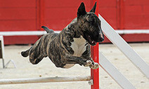10 Tips for Dog Agility Training: Animal Planet | cats & dogs! | Scoop.it
