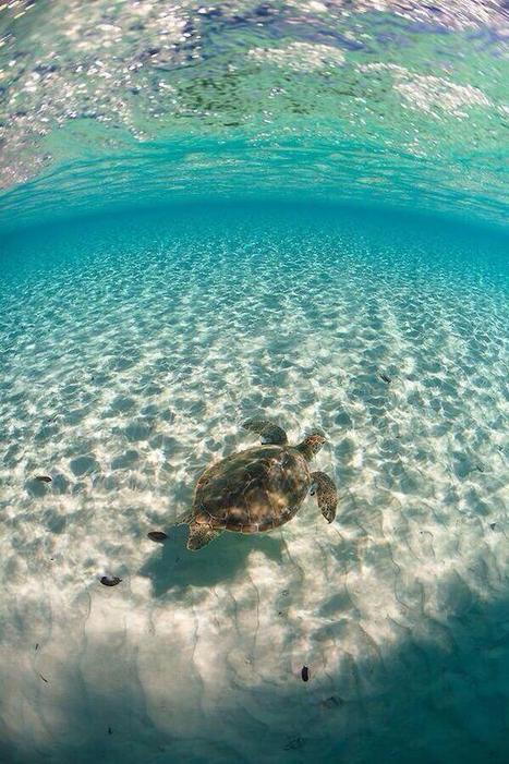 Sea turtle in the Bahamas | Reflejos | Scoop.it