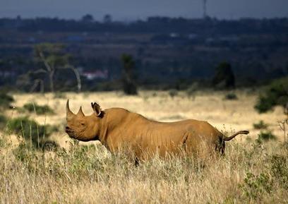 Poachers slaughter rhino in Nairobi national park | GarryRogers NatCon News | Scoop.it