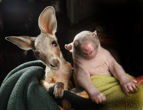 Baby kangaroo and wombat are fast friends [4 pictures] | Nature Animals humankind | Scoop.it