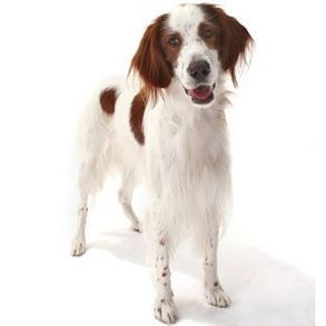 Irish Red and White Setter – Large Dog Breed | Dogs Breed | Scoop.it