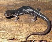 Predation on invertebrates by woodland salamanders increases carbon capture | Sustain Our Earth | Scoop.it