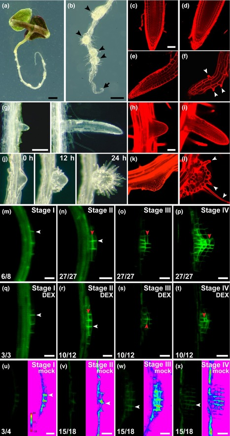 The auxin response factor MONOPTEROS controls meristem function and organogenesis in both the shoot and root through the direct regulation of PIN genes - Krogan - 2016 - New Phytologist - | plant molecular biology | Scoop.it