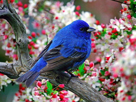 indigo bunting   All about nature   Scoop.it