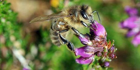600000 signatures contre les néonicotinoïdes, nocifs pour les abeilles | Biodiversité | Scoop.it