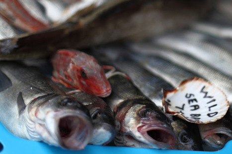 The Aquaculturists: 22/07/2015: EU raises minimum size of northern sea bass for better protection of stocks   Global Aquaculture News & Events   Scoop.it