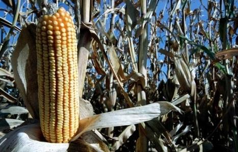 París pedirá que la UE prohíba el maíz transgénico si se verifica como tóxico   Investigación,salud y seguridad   Scoop.it