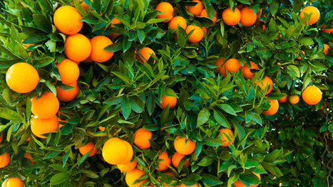 Can Genetically Modifying an Orange With a Spinach Gene Save Florida's Crop? | Citrus science | Scoop.it