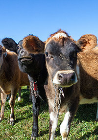 The Economic Benefits of Organic Dairy Farms | UCSUSA | Edison High - AP Human Geography | Scoop.it