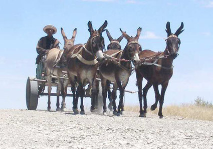 A donkey is more than just a draft animal | Sustainable Livestock Agenda SLA | Scoop.it