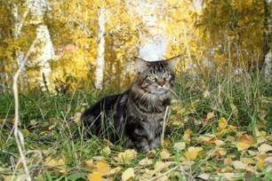 I 5 falsi miti e i luoghi comuni sui gatti di razzaMaine Coon | AmicoMaineCoon.it | Scoop.it