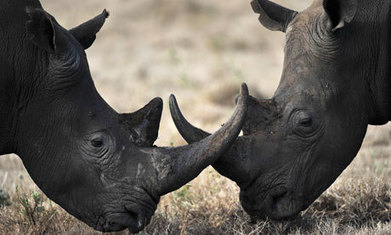 More than 600 rhinos killed in South Africa in 2013 - The Guardian | NGOs in Human Rights, Peace and Development | Scoop.it
