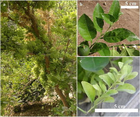 SpringerPlus: Increased sodium and fluctuations in minerals in acid limes expressing witches' broom symptoms | Plant pathology | Scoop.it