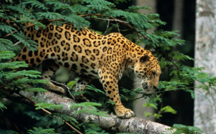 Care2 Success! 838,000 Acres To Be Protected For Jaguars! | Life on Earth | Scoop.it