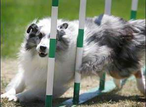Dogs to show off athletic abilities - The Daily News Journal | Shetland Sheepdogs | Scoop.it