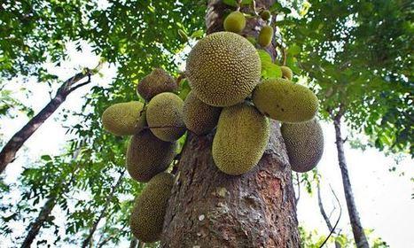 Jackfruit heralded as 'miracle' food crop | Erba Volant - Applied Plant Science | Scoop.it