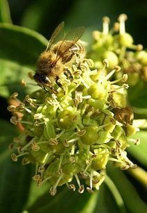 The honey and the ivy – why gardeners' foe is the bees' friend | Social Foraging | Scoop.it