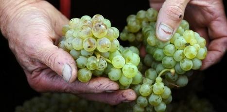 Cahors/ L'autre terroir du vin blanc - Le Nouvel Observateur | Vin & Vins du Sud-Ouest | Scoop.it