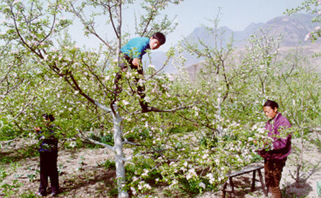 Decline of bees forces China's apple farmers to pollinate by hand   Biodiversity IS Life  – #Conservation #Ecosystems #Wildlife #Rivers #Forests #Environment   Scoop.it
