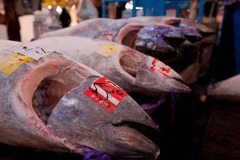 L'appétit des Japonais pour le thon rouge pourrait bien provoquer son extinction · Global Voices en Français   Responsabilité humaine et environnement   Scoop.it