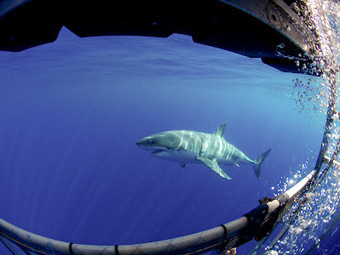 Shark Diver : Shark Diving : Swimming With Sharks | Scuba Diving Adventures | Scoop.it