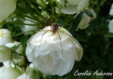 Des araignées à grandes pattes ? | Les colocs du jardin | Scoop.it