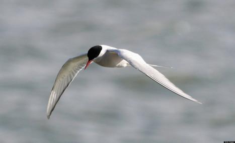 10 Remarkable Arctic Birds | Amocean OceanScoops | Scoop.it