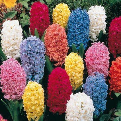Shade Perennial Flowers, Helleborus, Ferns, Garden Plants, Shade Plants | Springhill Nursery Gardening | Scoop.it