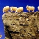 In 2005 in Turkey, a suicide sheep jumped off a cliff and 1500 sheep followed the first one | animal sciences | Scoop.it