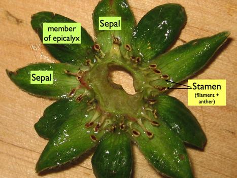 Aching for strawberries | Botany teaching & cetera | Scoop.it