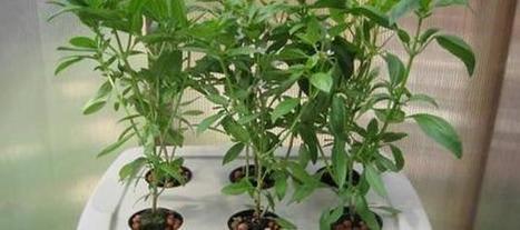 Hidroponia: sin tierra, el campo llegó al balcón - Mundo Agropecuario | Cultivos Hidropónicos | Scoop.it