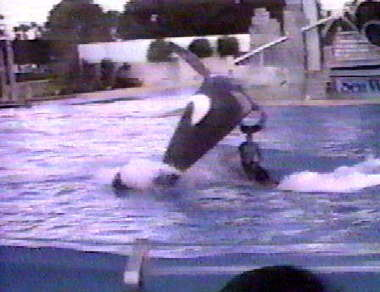 Incidents between humans and killer whales in captivity | Animals in captivity - Zoo, circus, marine park, etc.. | Scoop.it