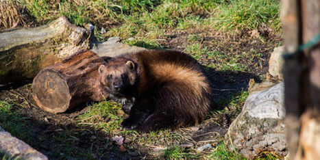 petition: Help Save Rare Wolverines from Extinction | Farming, Forests, Water, Fishing and Environment | Scoop.it