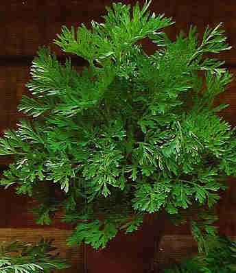 Ajenjo (Artemisia absinthium L.)   ECOLOGIA Y SALUD: Plantas aromáticas y medicinales.   Scoop.it
