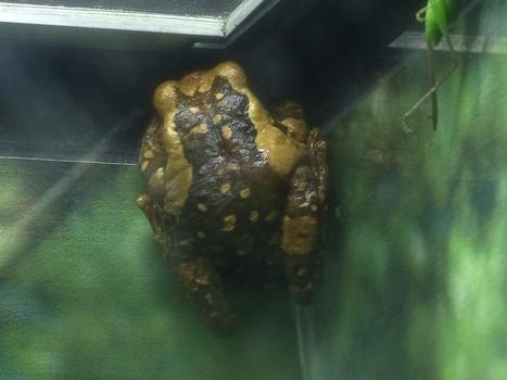 Photo de Hylidé : Rainette réticulaire - Trachycephalus venulosus - Veined tree frog - Common milk frog | Fauna Free Pics - Public Domain - Photos gratuites d'animaux | Scoop.it